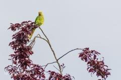 UK Parakeet