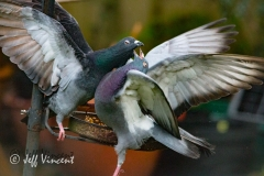 Pigeon fight