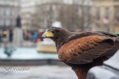 Harris Hawk in Trafalgar Square