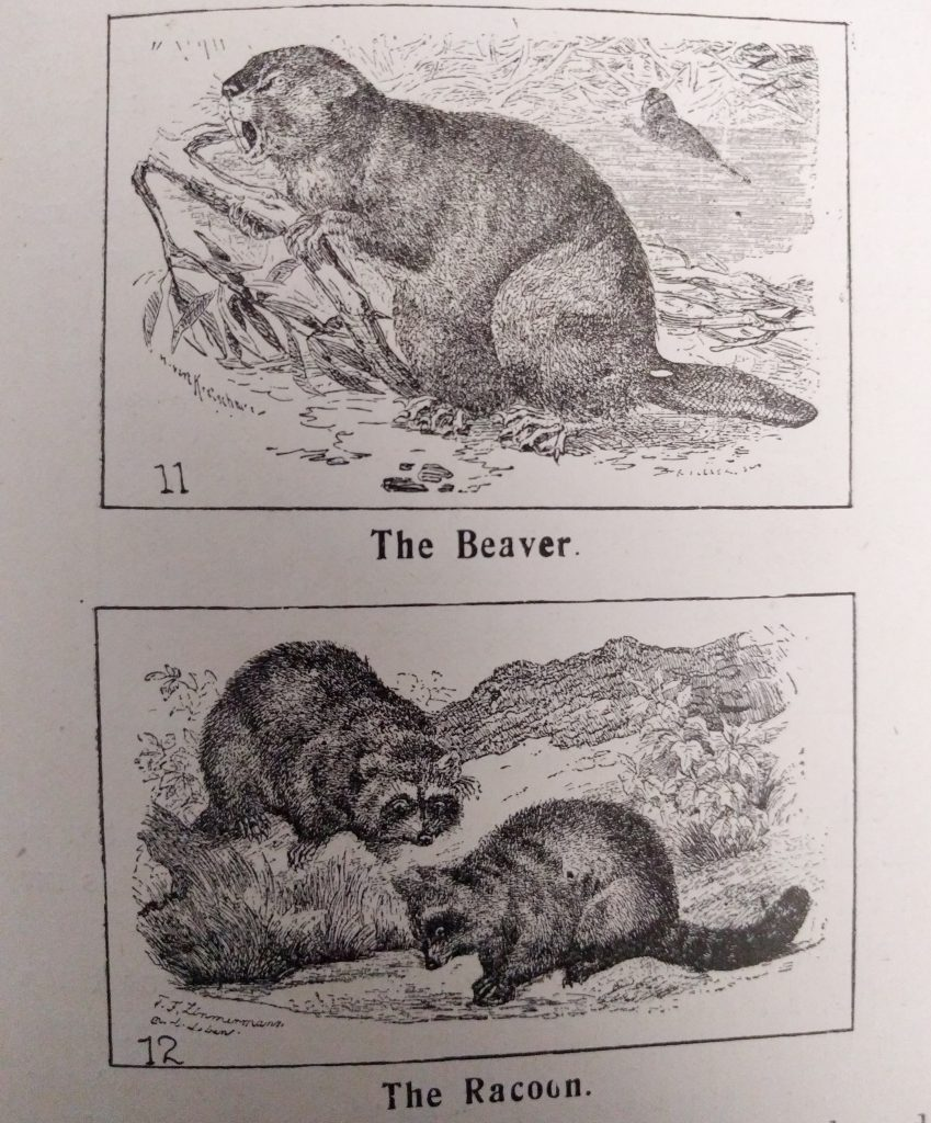 Beaver and Racoon